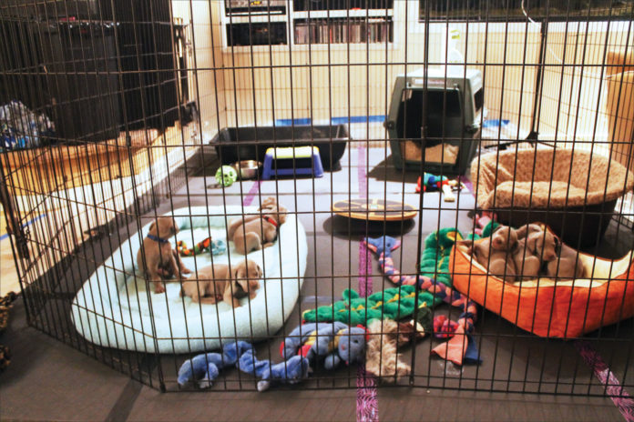 puppies in play pen