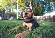 puppy lying in the grass