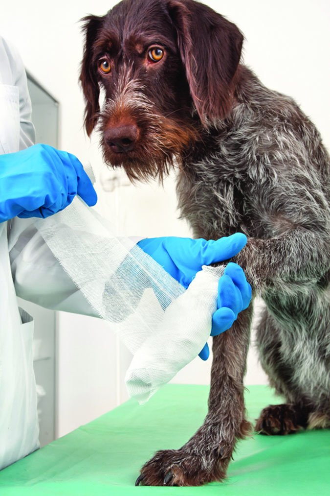 30d51e2c577d Dog Paw Cuts and Scrapes: How to Treat a Paw Injury - Whole Dog Journal