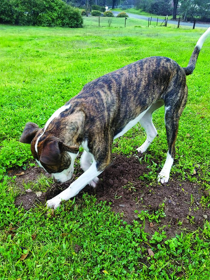 dog digging in yard