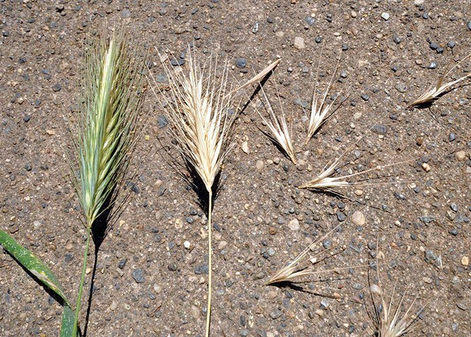 Foxtail Grass: Awns of Destruction for Western Dogs - Whole