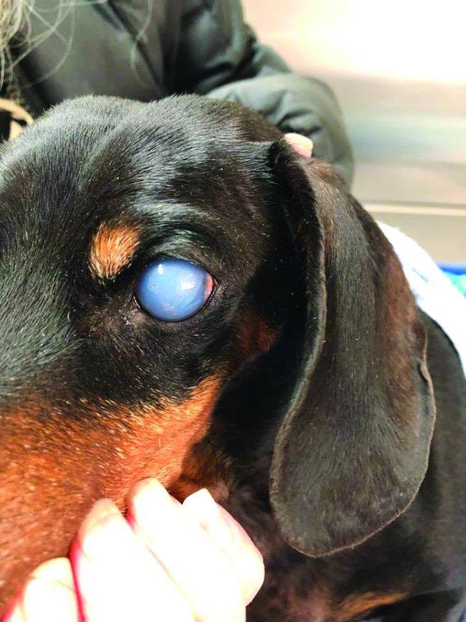 corneal endothelial degeneration in daschhunds