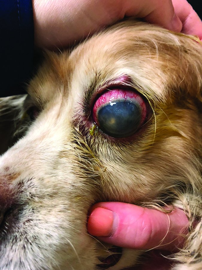 cocker spaniel with cataract and uveitis