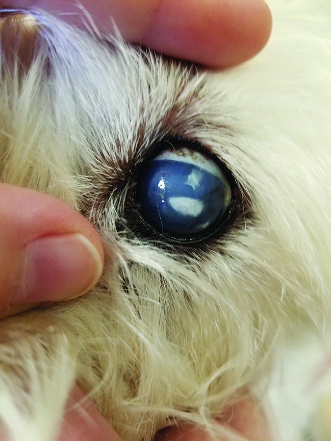 Cloudy Eyes in Dogs - Whole Dog Journal