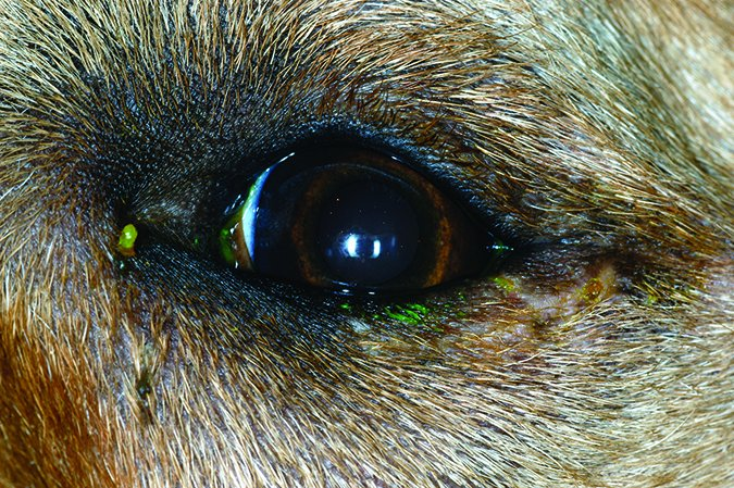 entropion surgery for dogs fixes common eye problem