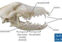 Skull of Fox Terrier