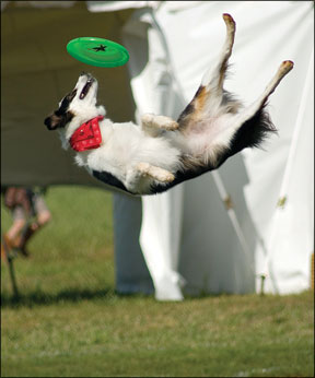 Disc Dog Competitions