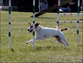 Dog Agility Injuries