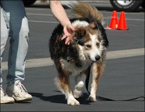 Vestibular Disease in Older Dogs