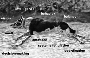 The Canine Central Nervous System