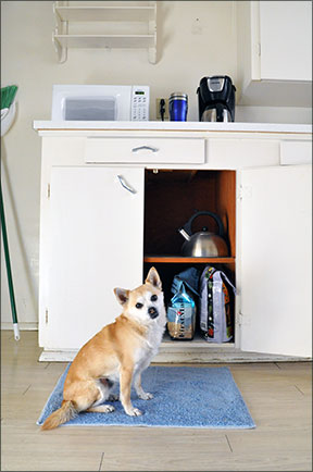dog waits for food in kitchen