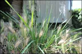 Foxtails are a West Coast Danger to Dogs