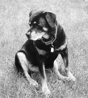 11 year old rottweiler