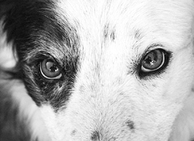 Older Dogs and the Onset of Cataracts - Whole Dog Journal