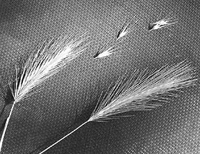 foxtail awn