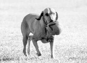 Teaching Fetch Using Positive Reinforcement Techniques