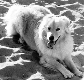 Understanding Congestive Heart Failure in Dogs - Whole Dog Journal