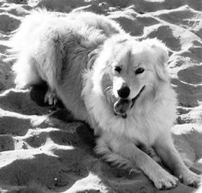dog with congestive heart failure