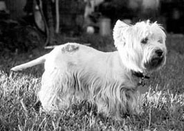 westie with hot spot