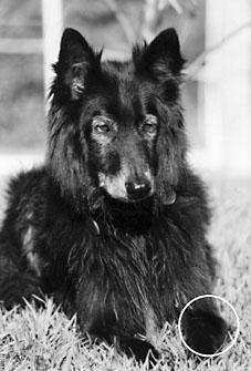 belgian shepherd with osteosarcoma