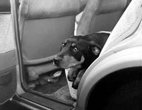 carsick dog