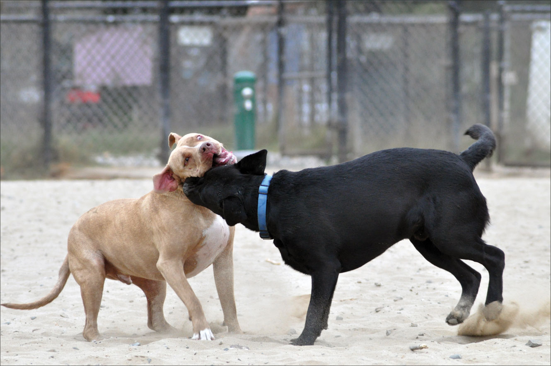 dangerous dog play