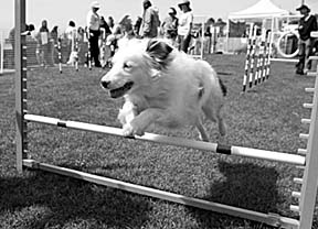 deaf agility dog