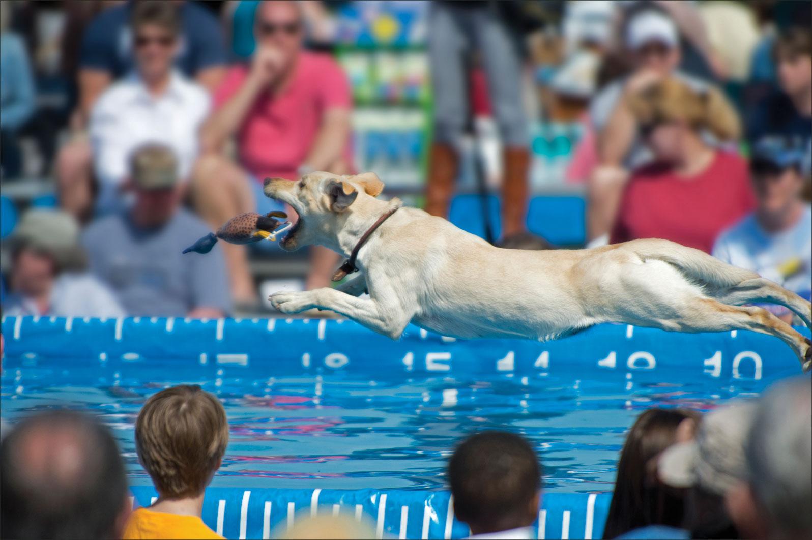 competitive dock diving for dogs