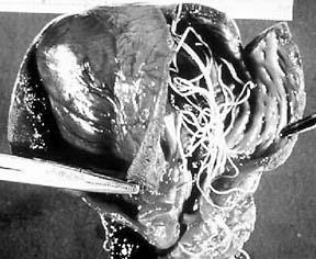 Preventing Heartworm