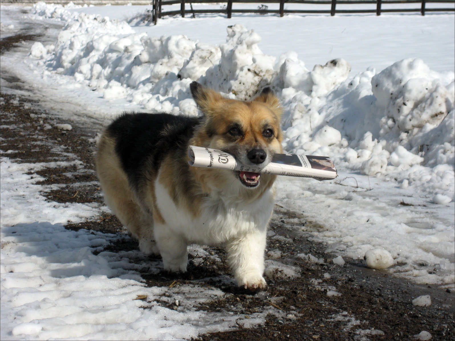 corgi getting newspaper