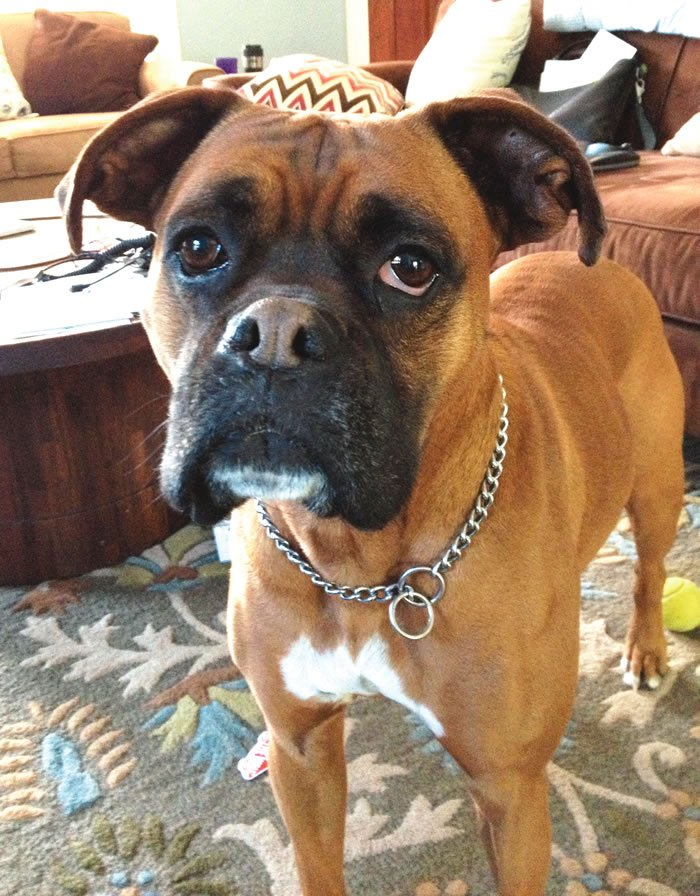 boxer with partial paralysis from car accident
