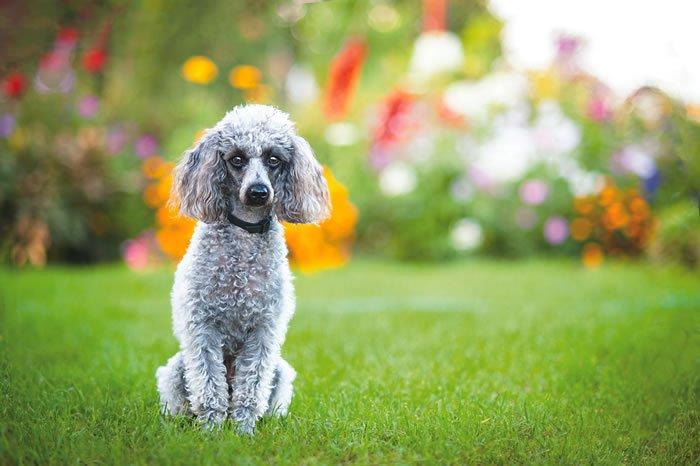 poodle sitting calmly