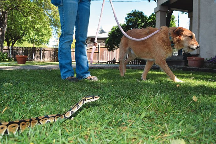 snake avoidance training