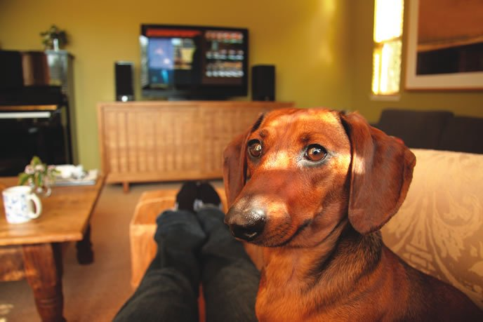 daschund on the couch