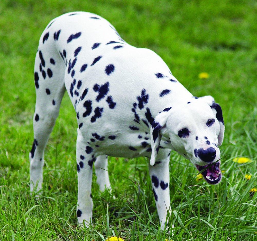 dalmatian eating grass