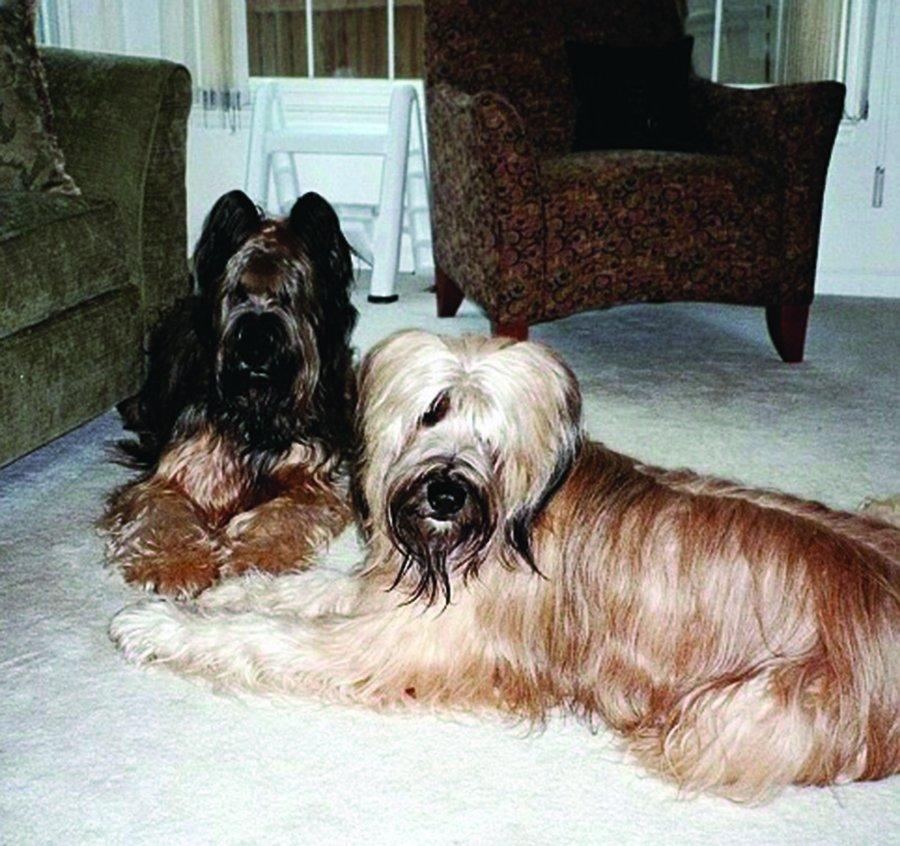 Briard dogs
