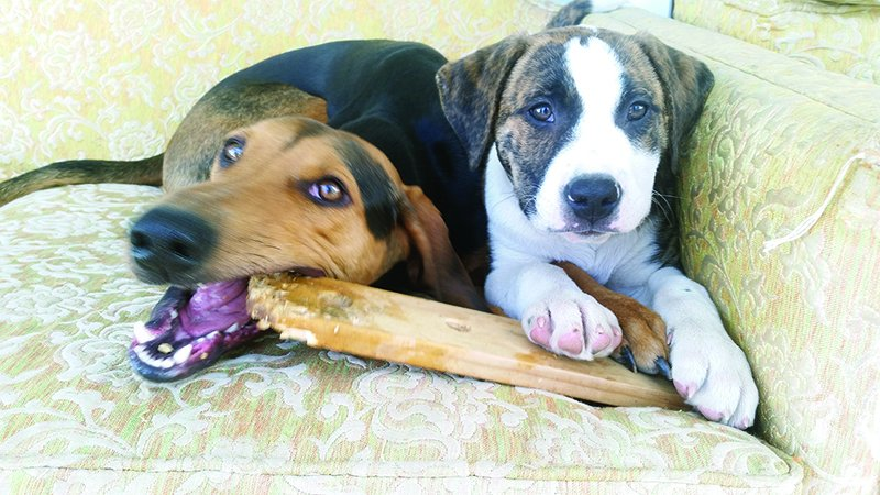 dogs sharing chew toy