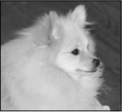 Micah the Pomeranian