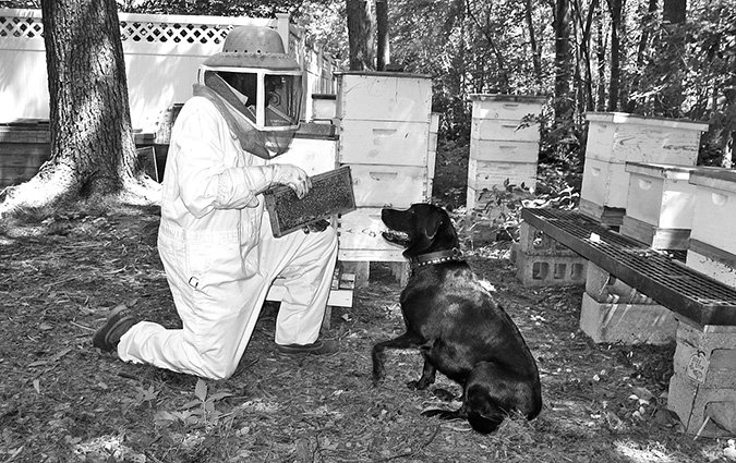 beekeeping with dogs