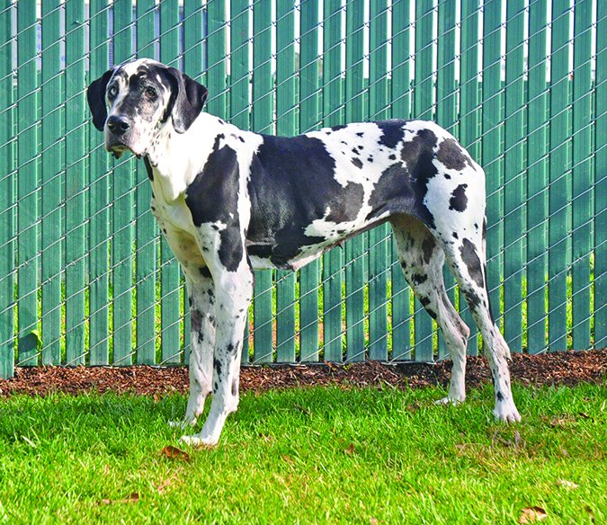 old great dane