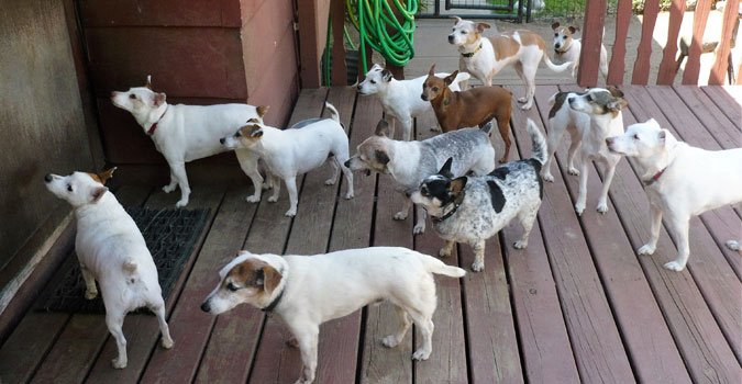 Pack of Jack Russel Terriers
