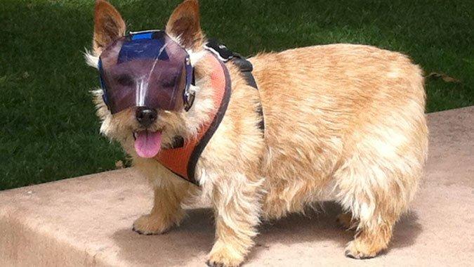 Norwich Terrier wearing shades