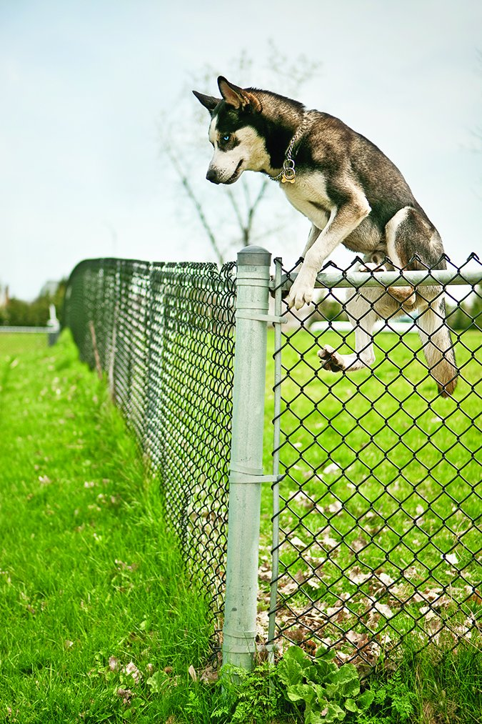 dog jumping tall fence