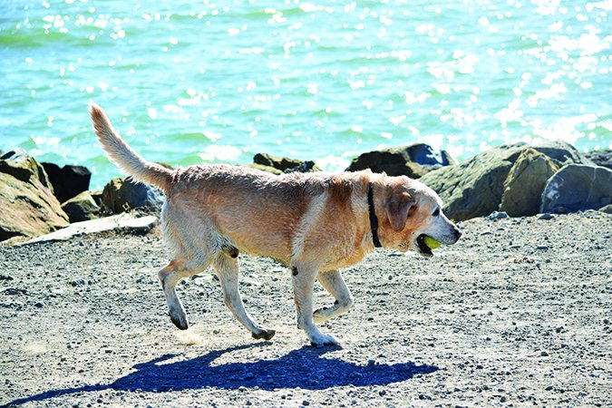 dog limping at the beach