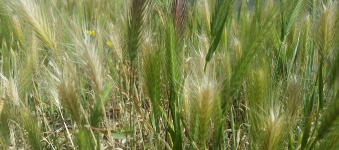 How do we Westerners hate foxtails*? Let us count the ways…