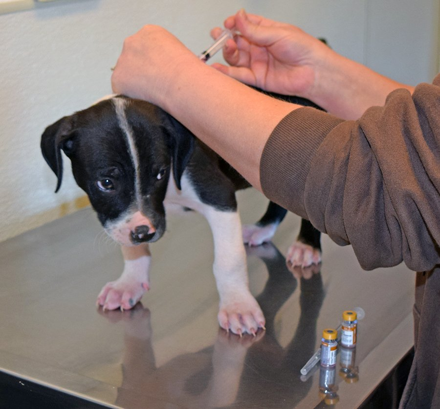 puppy vaccination protocol