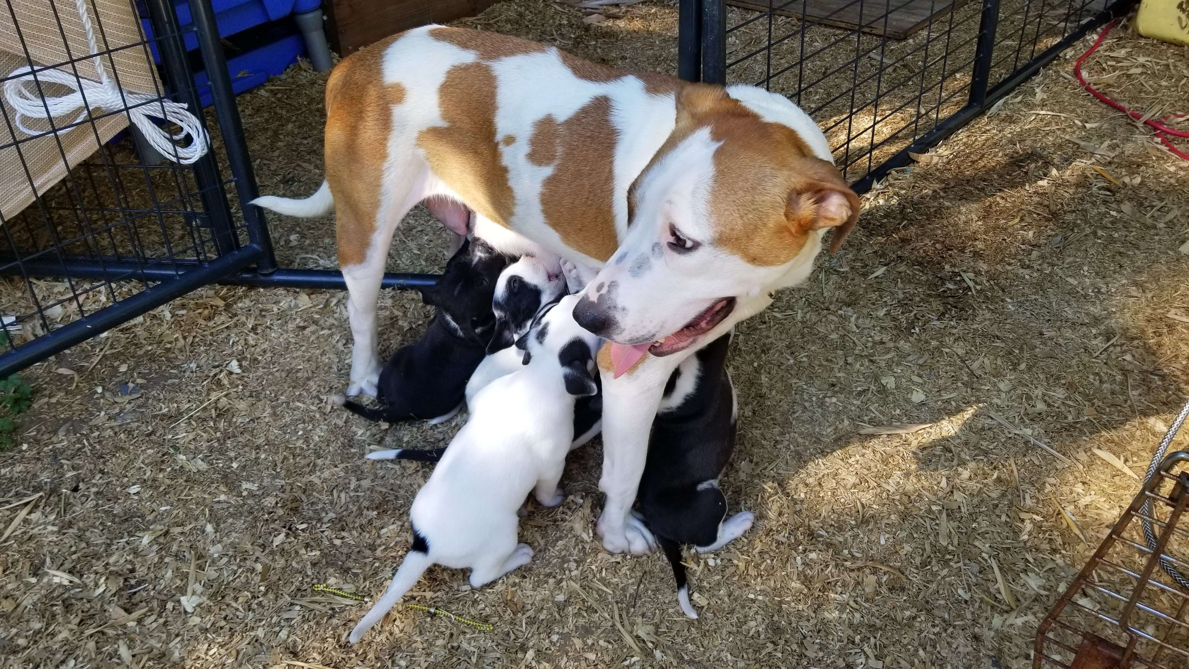 mother dog and nursing puppies