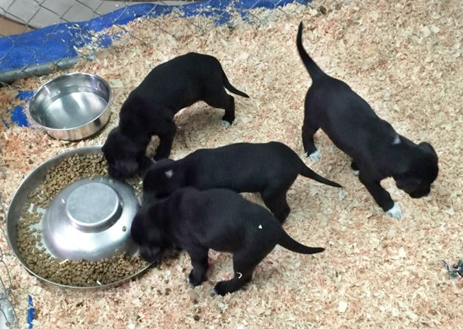 litter of black puppies