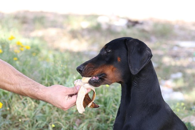 Doberman eats a banana