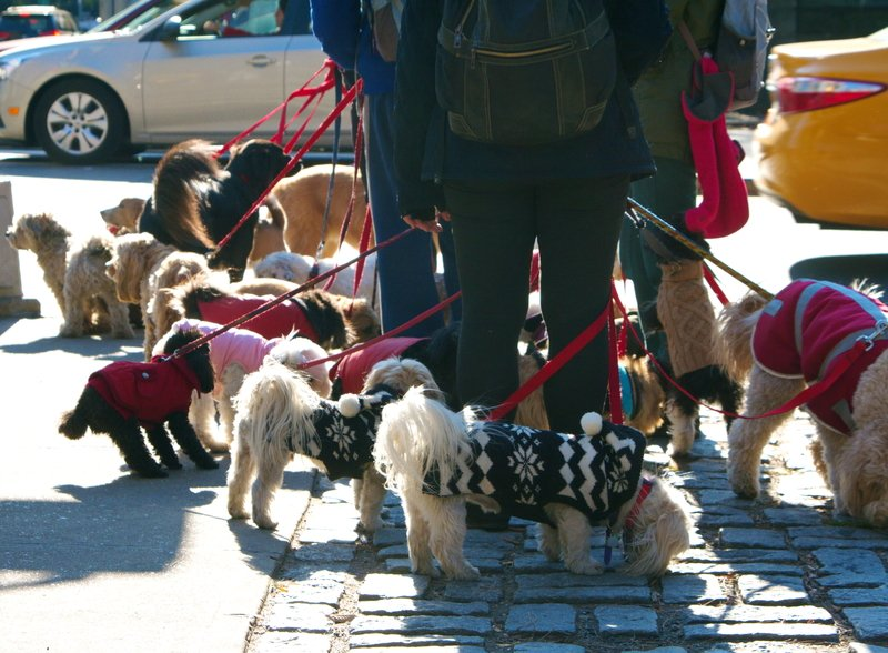 dog walker in new york city